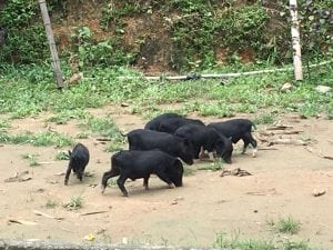 חיות משק וייטנאם
